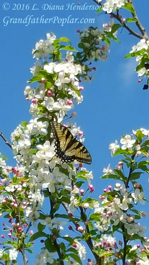 butterflyhawthorn1